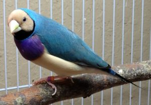 Blue Back Straw Head Male Gouldian Finch