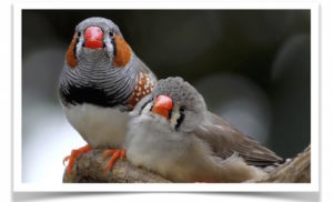 Normal Zebra Finch Pair